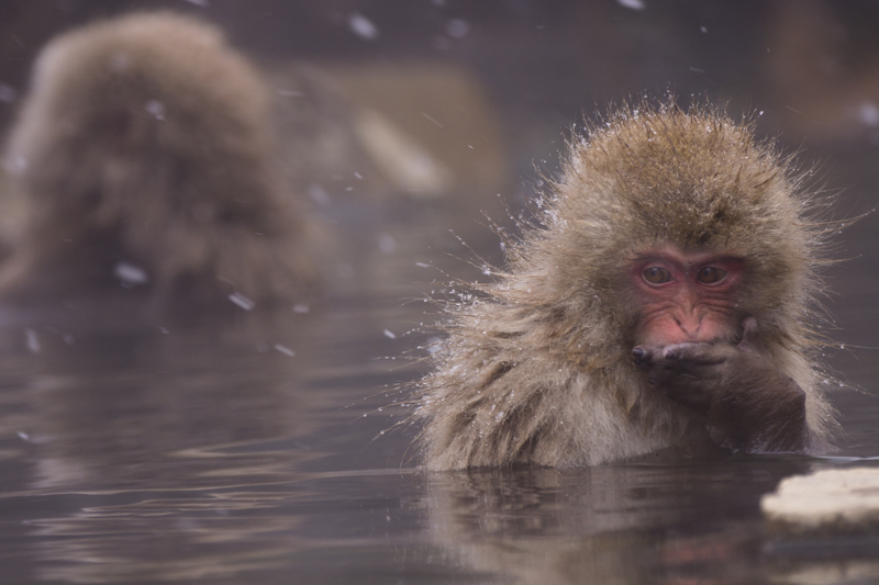 A Japanese snow monkey in an outdoor hotspring
